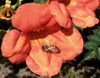 La flor de trompeta anaranjada con manosea la abeja que descansa sobre ella Imagenes de archivo