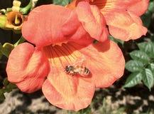 La flor de trompeta anaranjada con manosea la abeja que descansa sobre ella Imagen de archivo