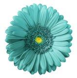 La flor de la turquesa del Gerbera en blanco aisló el fondo con la trayectoria de recortes Ningunas sombras primer fotos de archivo libres de regalías