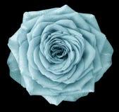 La flor de la turquesa de Rose en el negro aisló el fondo con la trayectoria de recortes Ningunas sombras primer Fotos de archivo