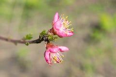 La flor de un cerezo que florece en la manera Cereza floreciente en la primavera, el olor del albaricoque floreciente Foto de archivo