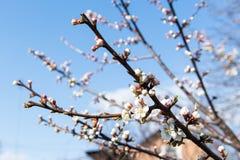 La flor de un cerezo que florece en la manera Cereza floreciente en la primavera, el olor del albaricoque floreciente Fotografía de archivo
