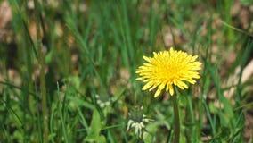 La flor de un diente de león amarillo balancea el viento almacen de video