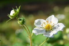 La flor de una fresa en luz del sol fotografía de archivo libre de regalías