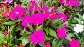 La flor de la vida Fuerte rosado imagen de archivo libre de regalías