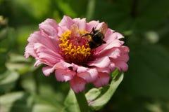 La flor decorativa con manosea la abeja Fotografía de archivo libre de regalías