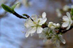 La flor del árbol de ciruelo Imagen de archivo libre de regalías