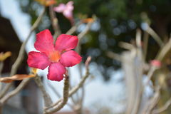 La flor del adenium de Obesum un desierto subió Fotografía de archivo