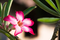 La flor del adenium de Somalense un desierto subió Fotografía de archivo