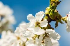 La flor del albaricoque floreció en primavera imagenes de archivo