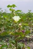La flor del algodón Fotografía de archivo libre de regalías