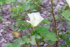 La flor del algodón Imagen de archivo libre de regalías