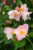La flor del arbusto ornamental Fotos de archivo