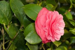 La flor del arbusto ornamental Imagenes de archivo