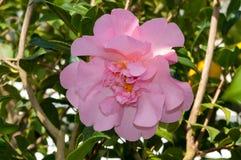 La flor del arbusto ornamental Imagen de archivo libre de regalías