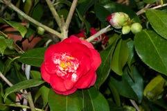 La flor del arbusto ornamental Foto de archivo libre de regalías