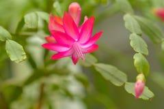 La flor del buckleyi de Shhlumbergera se ha abierto Imagenes de archivo
