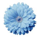 La flor del Calendula azul clara con rocío en un blanco aisló el fondo con la trayectoria de recortes primer imagen de archivo