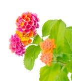 La flor del camara del Lantana se aísla en el fondo blanco Fotografía de archivo libre de regalías