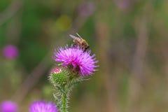 La flor del cardo con una mosca Fotografía de archivo libre de regalías