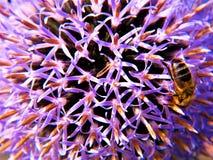 La flor del cardo engaña la abeja para Groming Fotos de archivo