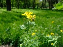 La flor del celandine amarillo crece entre la hierba Foto de archivo libre de regalías