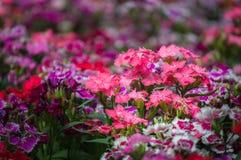 La flor del clavel está floreciendo en el jardín Imagenes de archivo