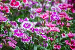 La flor del clavel está floreciendo en el jardín Fotos de archivo