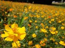 La flor del cosmos Fotos de archivo