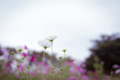 La flor del cosmos Imágenes de archivo libres de regalías