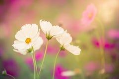 La flor del cosmos Fotografía de archivo libre de regalías