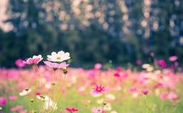 La flor del cosmos Imagenes de archivo