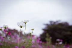 La flor del cosmos Imagen de archivo