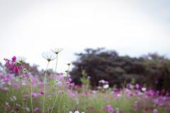 La flor del cosmos Imagen de archivo libre de regalías