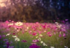 La flor del cosmos Fotografía de archivo