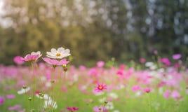 La flor del cosmos Foto de archivo