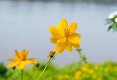 La flor del cosmos en el jardín de la orilla, parece hermosa imagenes de archivo