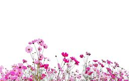La flor del cosmos está floreciendo y aislado en el fondo blanco fotos de archivo