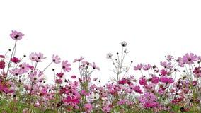 La flor del cosmos est? floreciendo fotografía de archivo