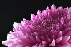 La flor del crisantemo con agua cae el primer Fotos de archivo libres de regalías