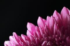 La flor del crisantemo con agua cae el primer Imágenes de archivo libres de regalías