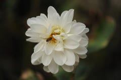 La flor del crisantemo con manosea la abeja imagen de archivo libre de regalías