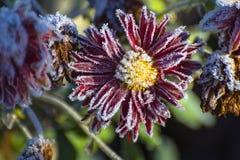 La flor del crisantemo rojo, cubierta con escarcha después de una helada de la noche Imagen de archivo libre de regalías