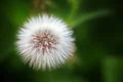 La flor del diente de león Foto de archivo