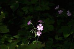 La flor del geranio fotografía de archivo