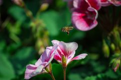 La flor del geranio está floreciendo y las abejas en el jardín Fotografía de archivo libre de regalías