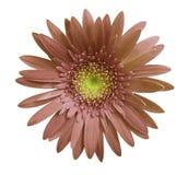 La flor del gerbera de Brown en blanco aisló el fondo con la trayectoria de recortes primer Ningunas sombras Para el diseño Fotos de archivo libres de regalías