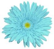 La flor del gerbera de la turquesa, blanco aisló el fondo con la trayectoria de recortes primer Ningunas sombras Para el diseño Imagen de archivo libre de regalías