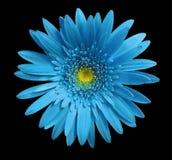La flor del gerbera de la turquesa en negro aisló el fondo con la trayectoria de recortes primer Ningunas sombras Para el diseño Fotos de archivo libres de regalías