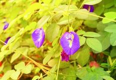La flor del guisante de mariposa o el guisante azul y la hoja en naturaleza con la copia espacian el ternatea L del Clitoria con  Imagenes de archivo